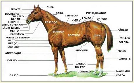 anatomia do cavalo - img haras pantanal